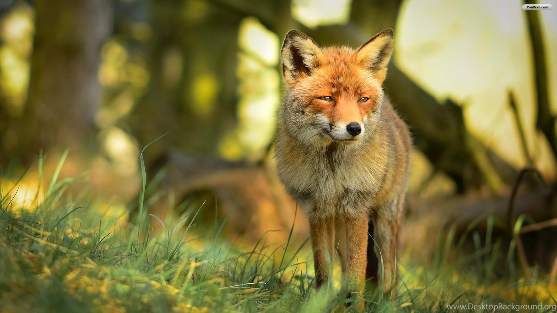 YouWall Cute Red Fox Wallpapers Wallpaper,wallpapers,free ...