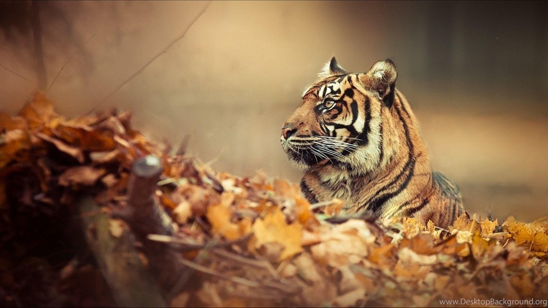 tiger wallpapers 3428 backgrounds cool wallnos desktop background