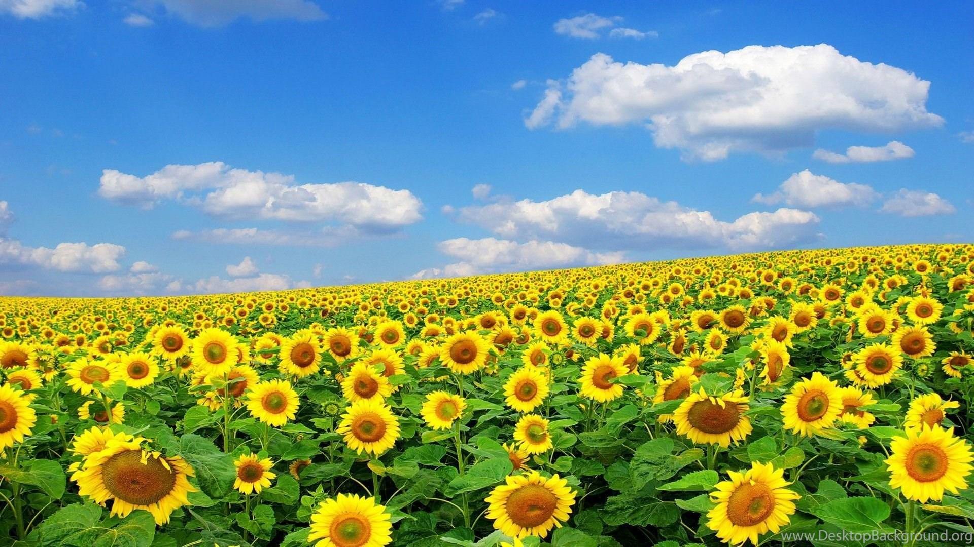 Sunflower Sunset HD Desktop Wallpaper