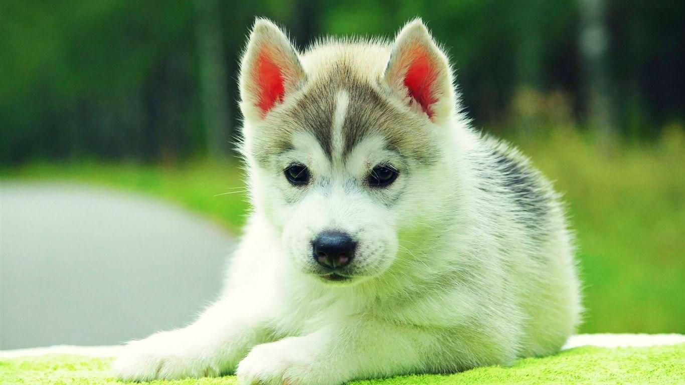 Cute Siberian Husky Puppies Animal Wallpapers B Desktop Background