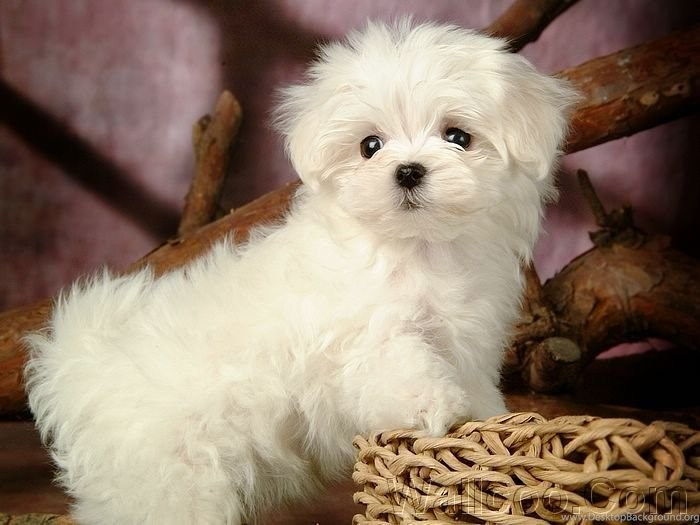 Latest Wallpapers Cute White Puppies White Cute Puppy In Dog Type Desktop Background