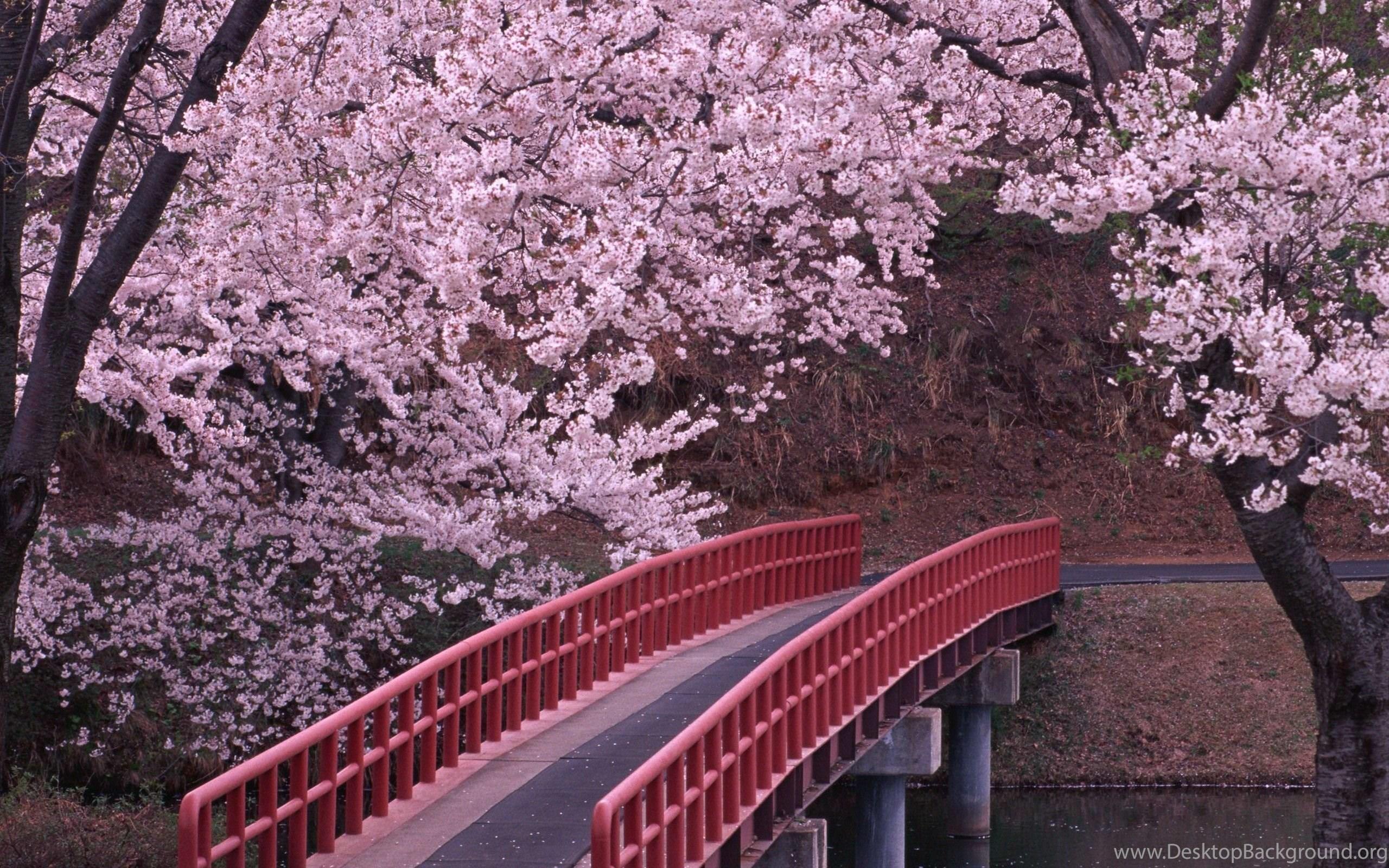 Japanese Cherry Blossom Desktop Backgrounds Hd 2560x1600 Desktop
