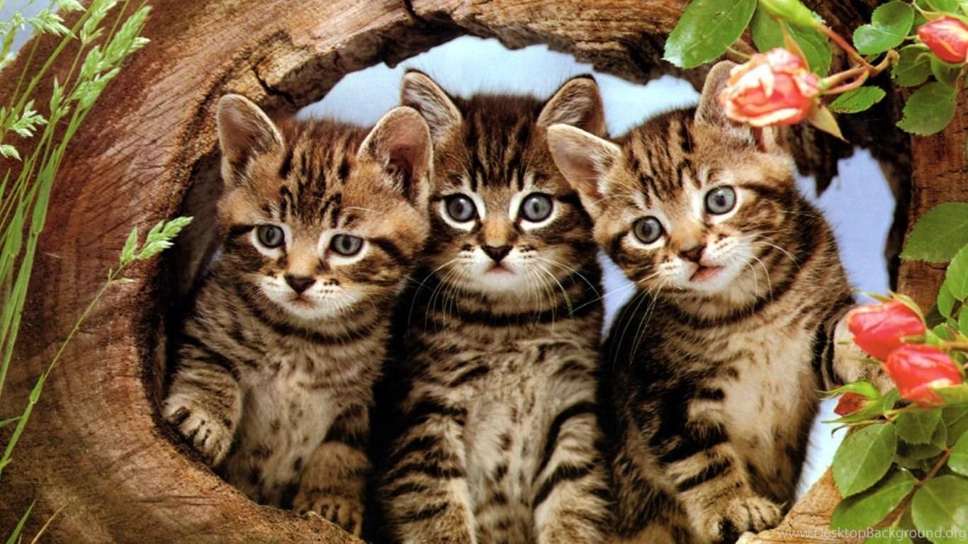 Cute cartoon cat wallpapers three cute kittens your hd - Cartoon cat background ...