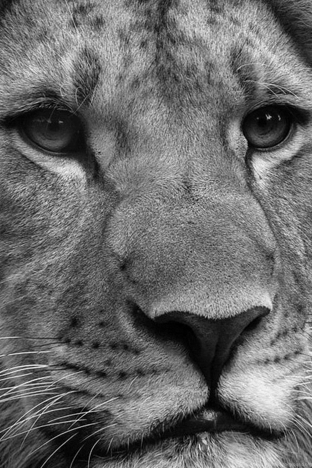 Black And White Lion Wallpaper For Iphone 4 Jpg Desktop Background