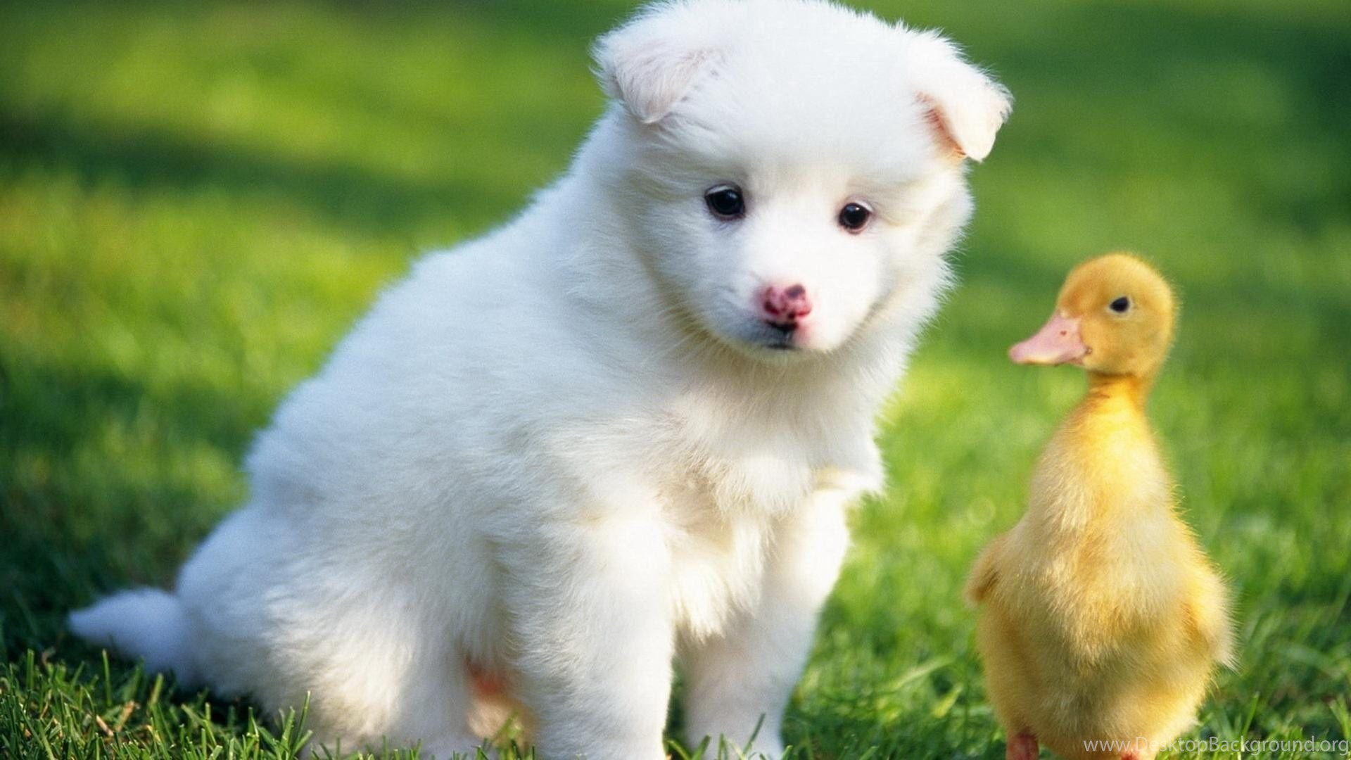 White Puppies The Cutest Backgrounds With Cute High Quality For rh