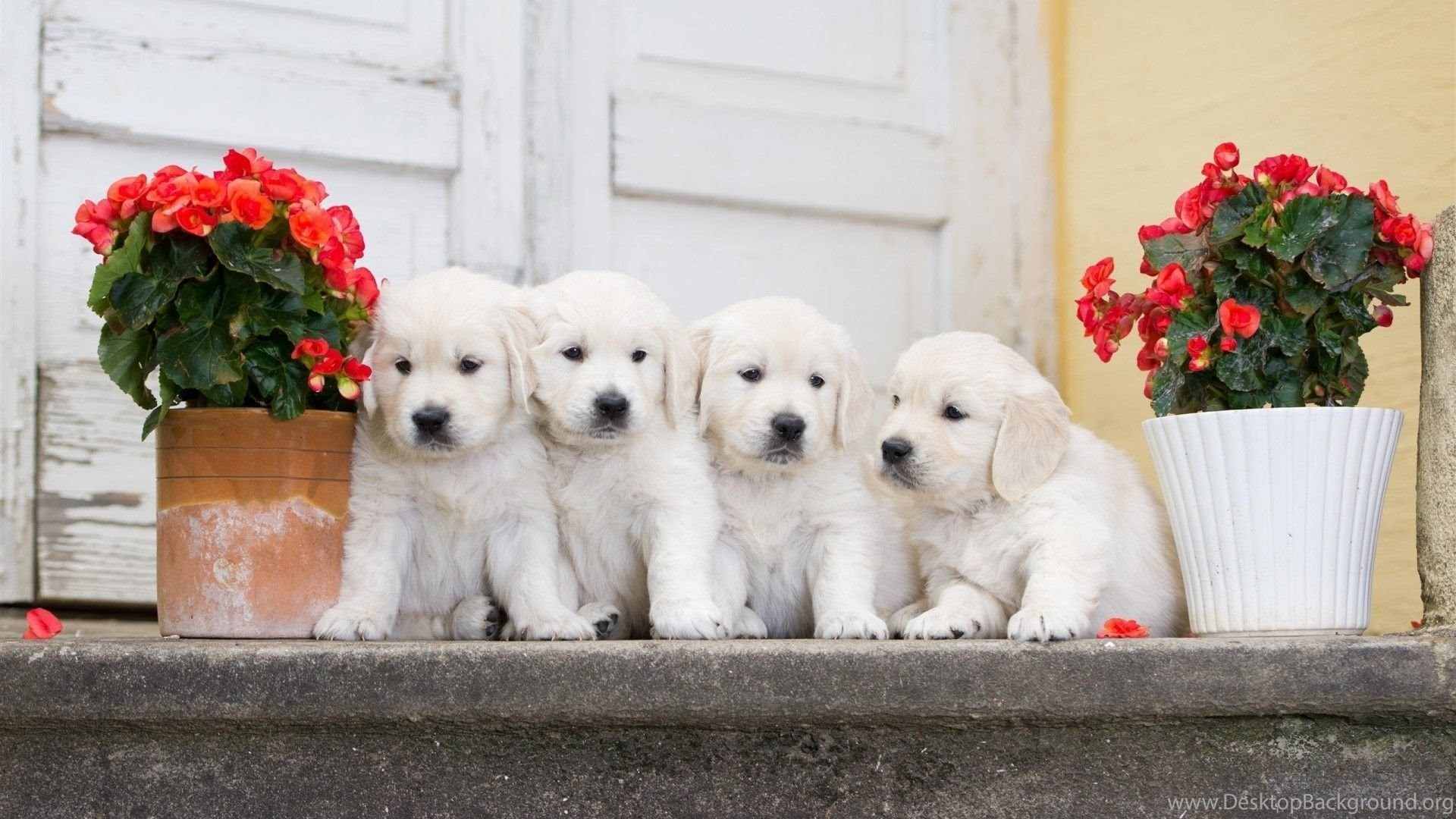 white puppies wallpapers hd free download of cute puppies desktop