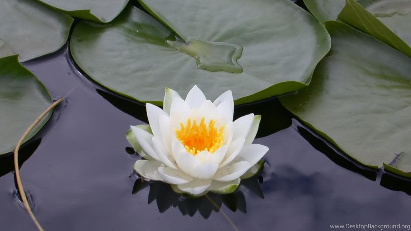 Top free lotus flower wallpaper images for pinterest desktop background 1366x768 izmirmasajfo
