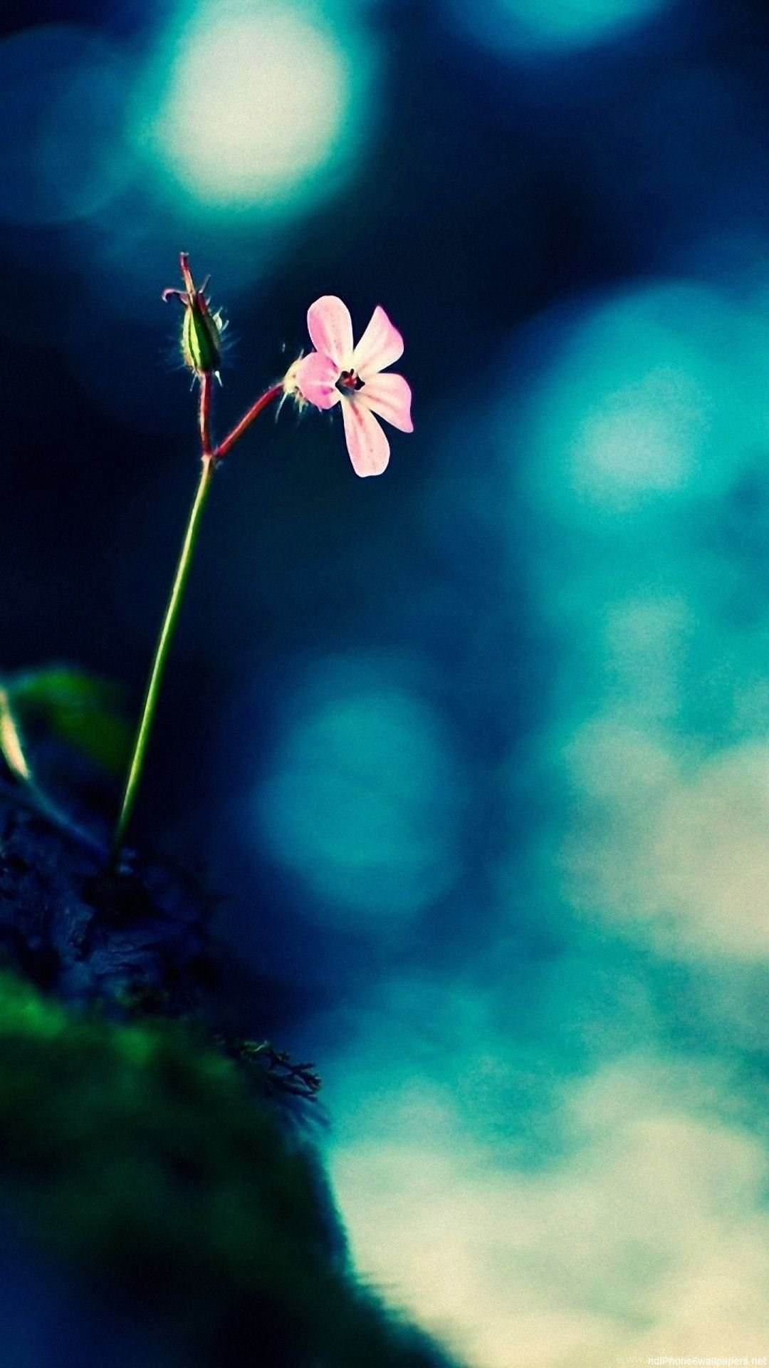 Flower Iphone 6 Wallpapers Hd And Flower 6 Plus Wallpapers 1080p Desktop Background