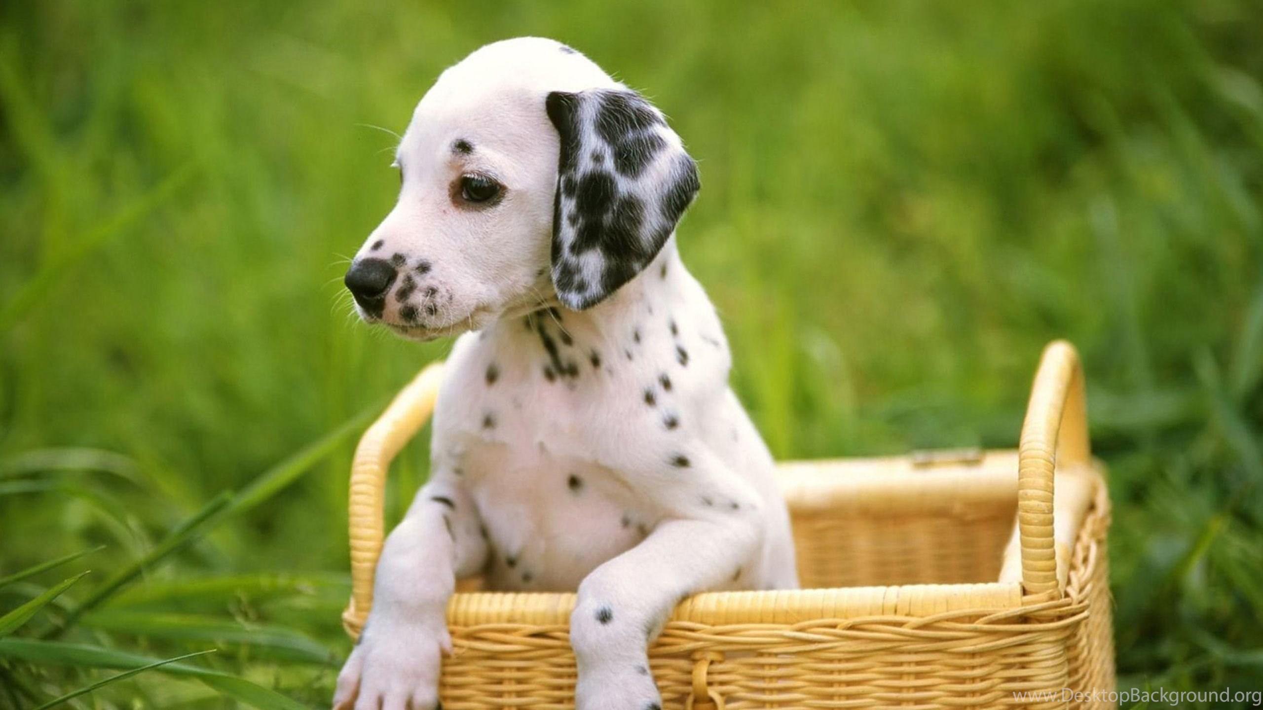 Cute Puppies Wallpapers HD Desktop PowerballForLife