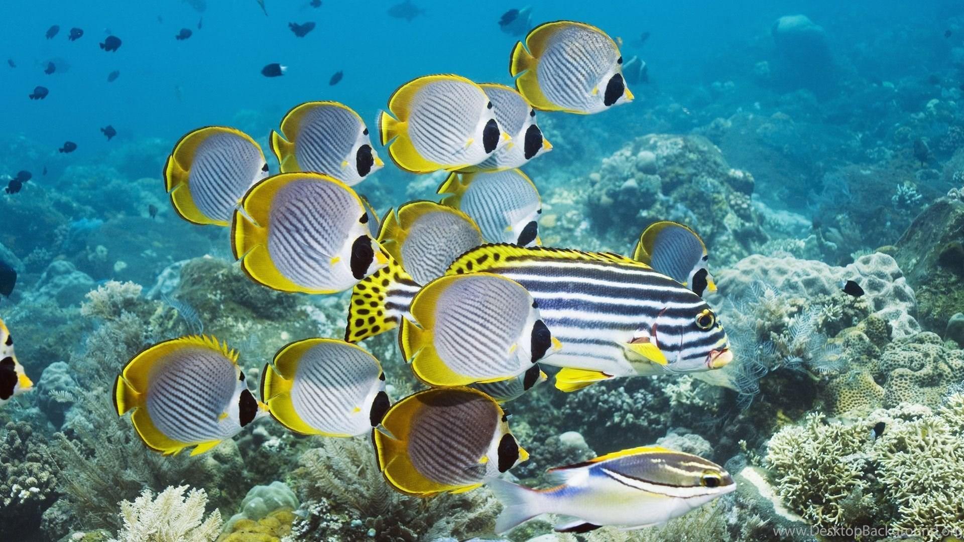 Wallpapers Underwater Fish Coral Butterflyfish Desktop
