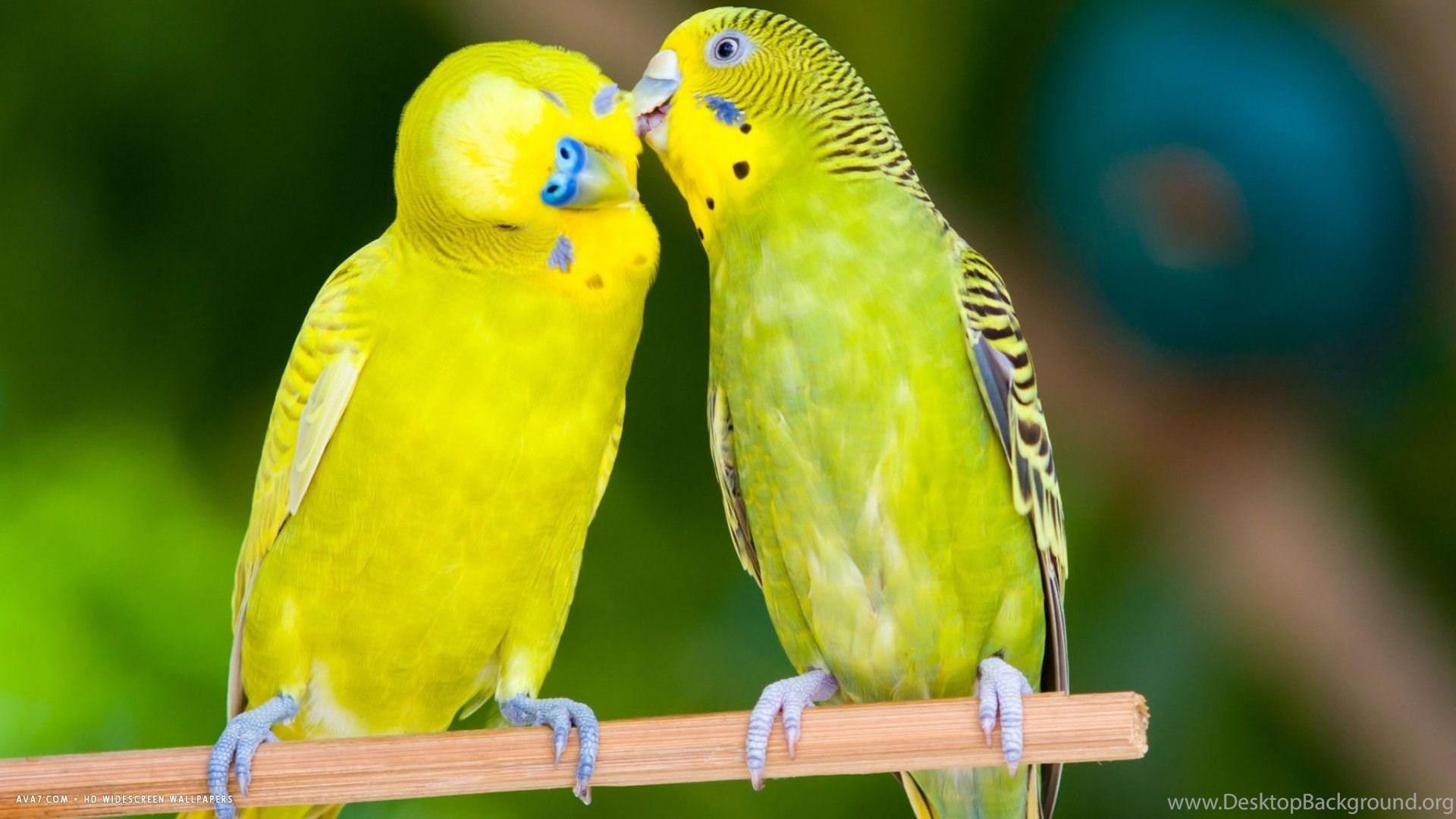 Budgie Love Birds Hd Wallpapers 1080p Desktop Background