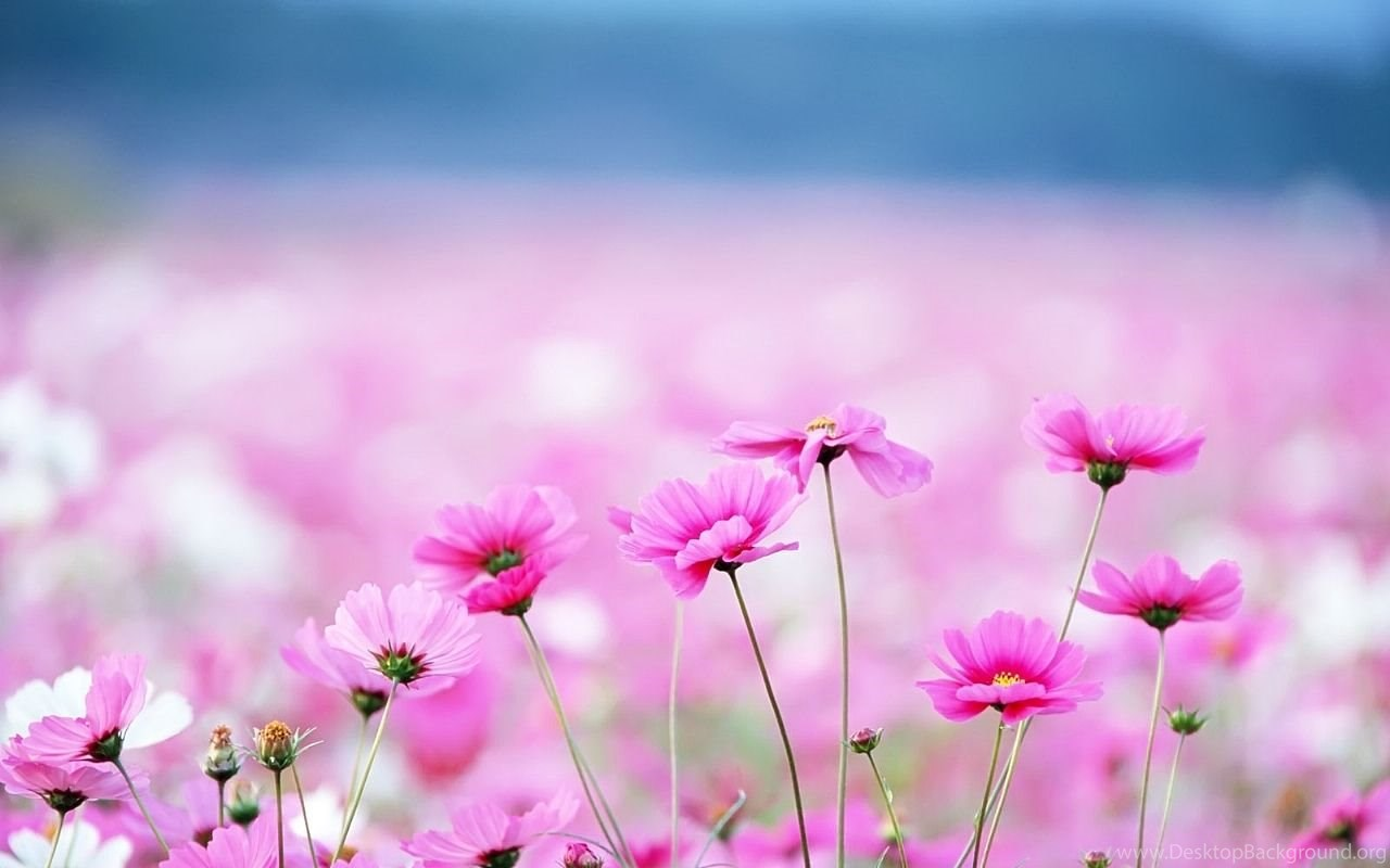 Hd 1280x800 Cute Pink Flowers Desktop Wallpaper Backgrounds
