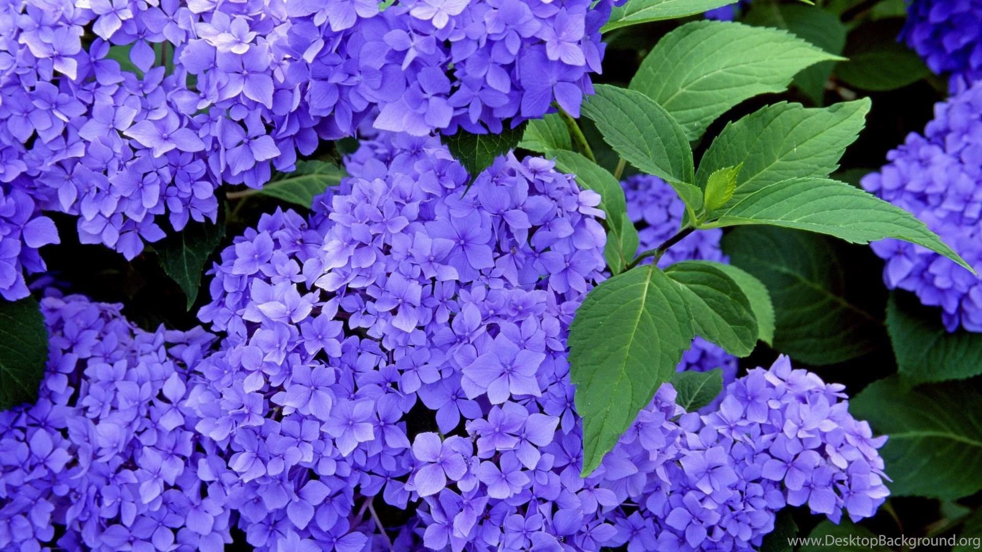 Hydrangea desktop wallpapers beautiful flowers pictures desktop popular izmirmasajfo