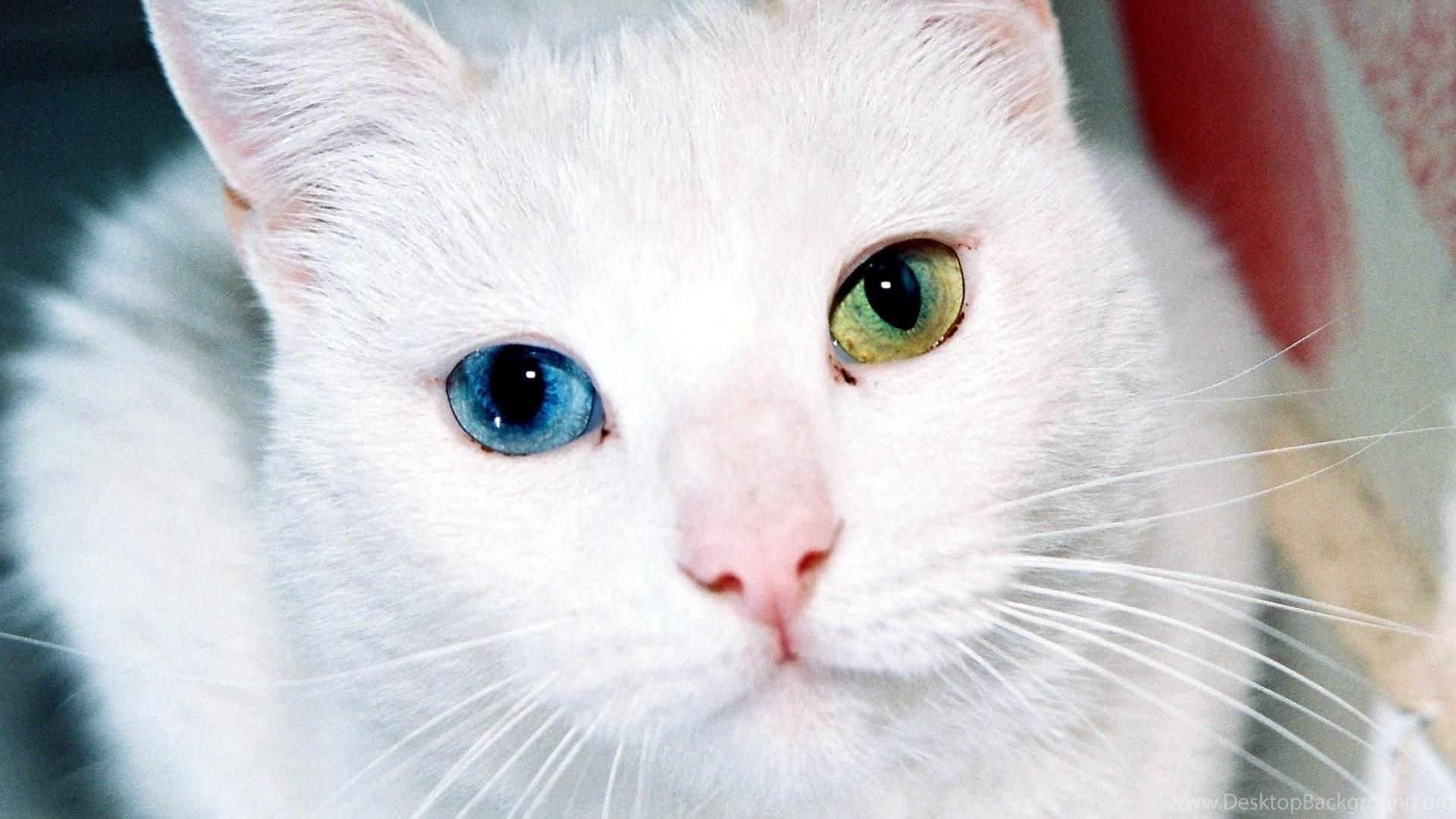 White Cats Animals Heterochromia Cat Hd Wallpapers Desktop Background