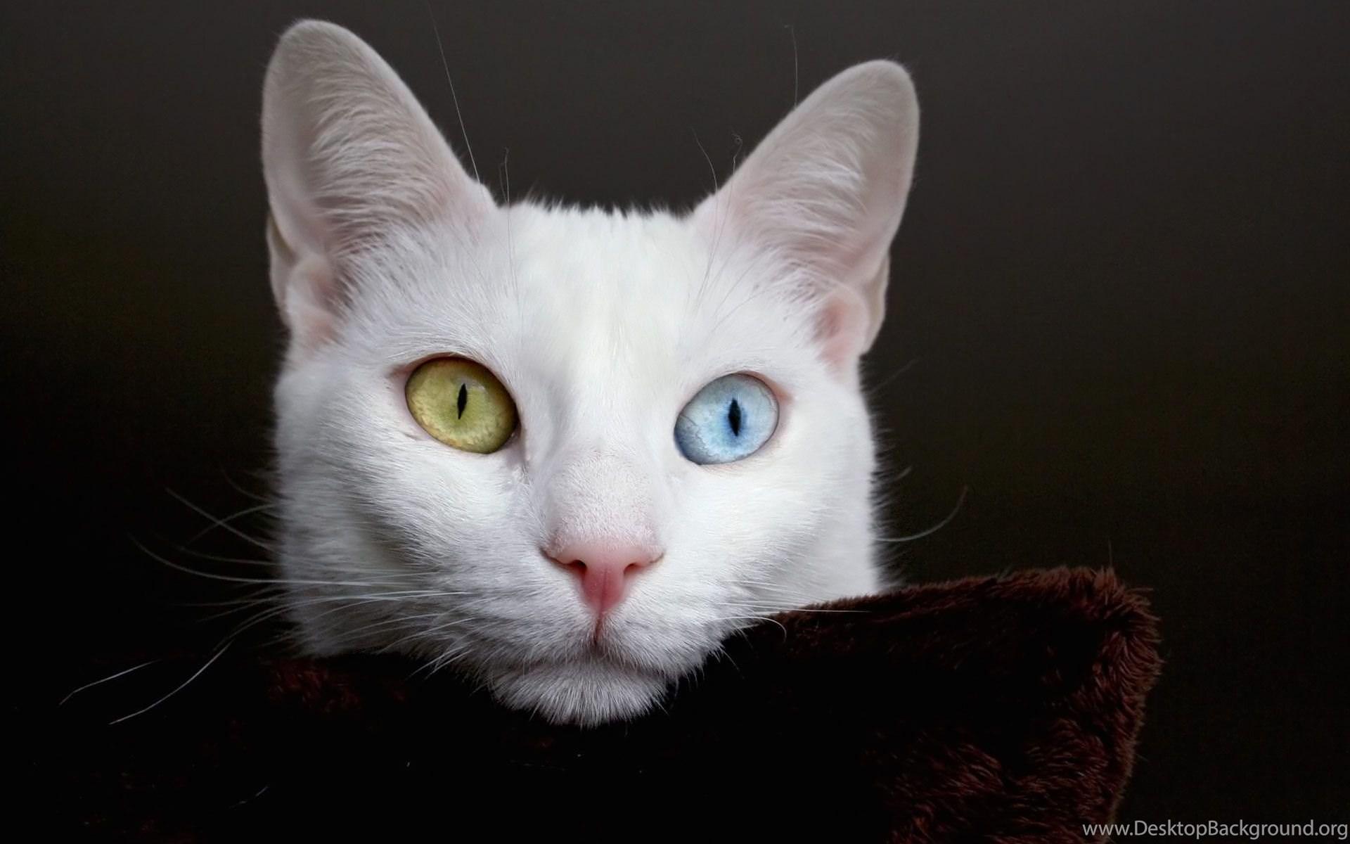Desktop Wallpapers Gallery Animals White Cat Bi Color