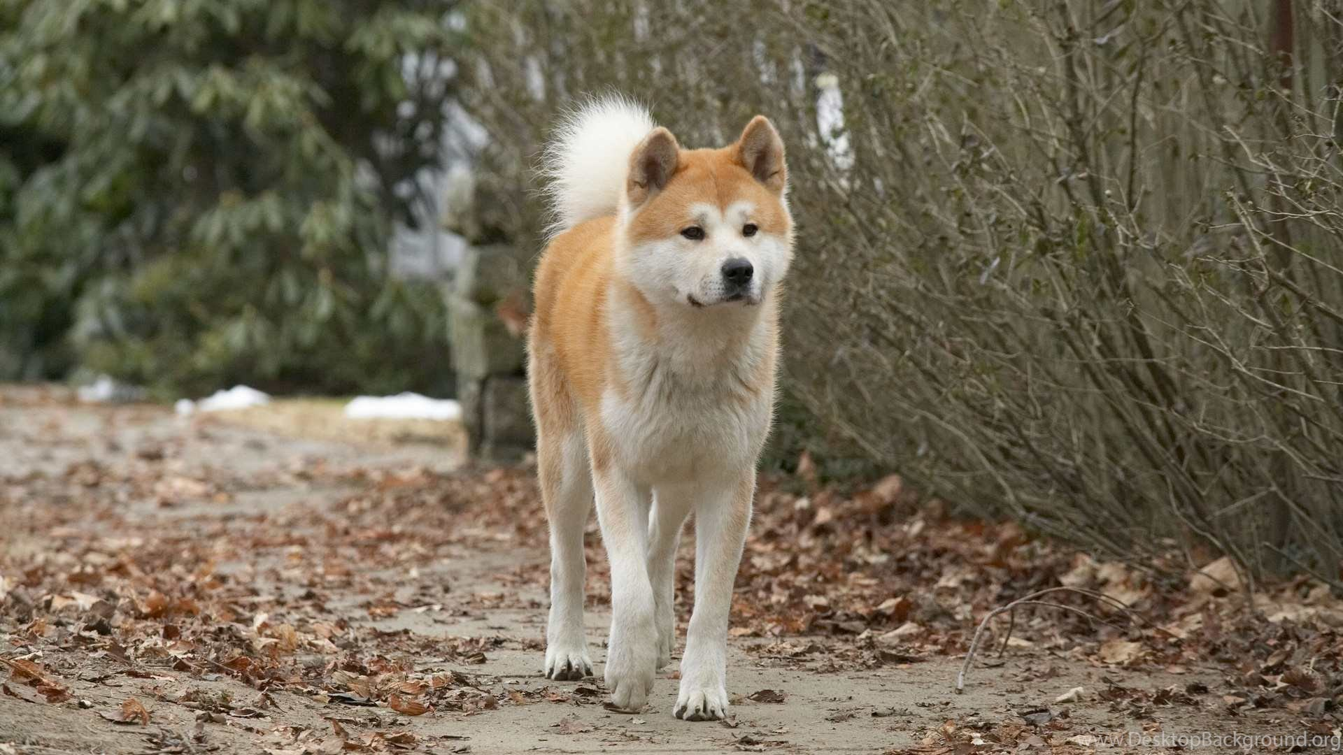 Akita Dogs Hd Wallpapers Of Japanese Akita American Akita Desktop Background