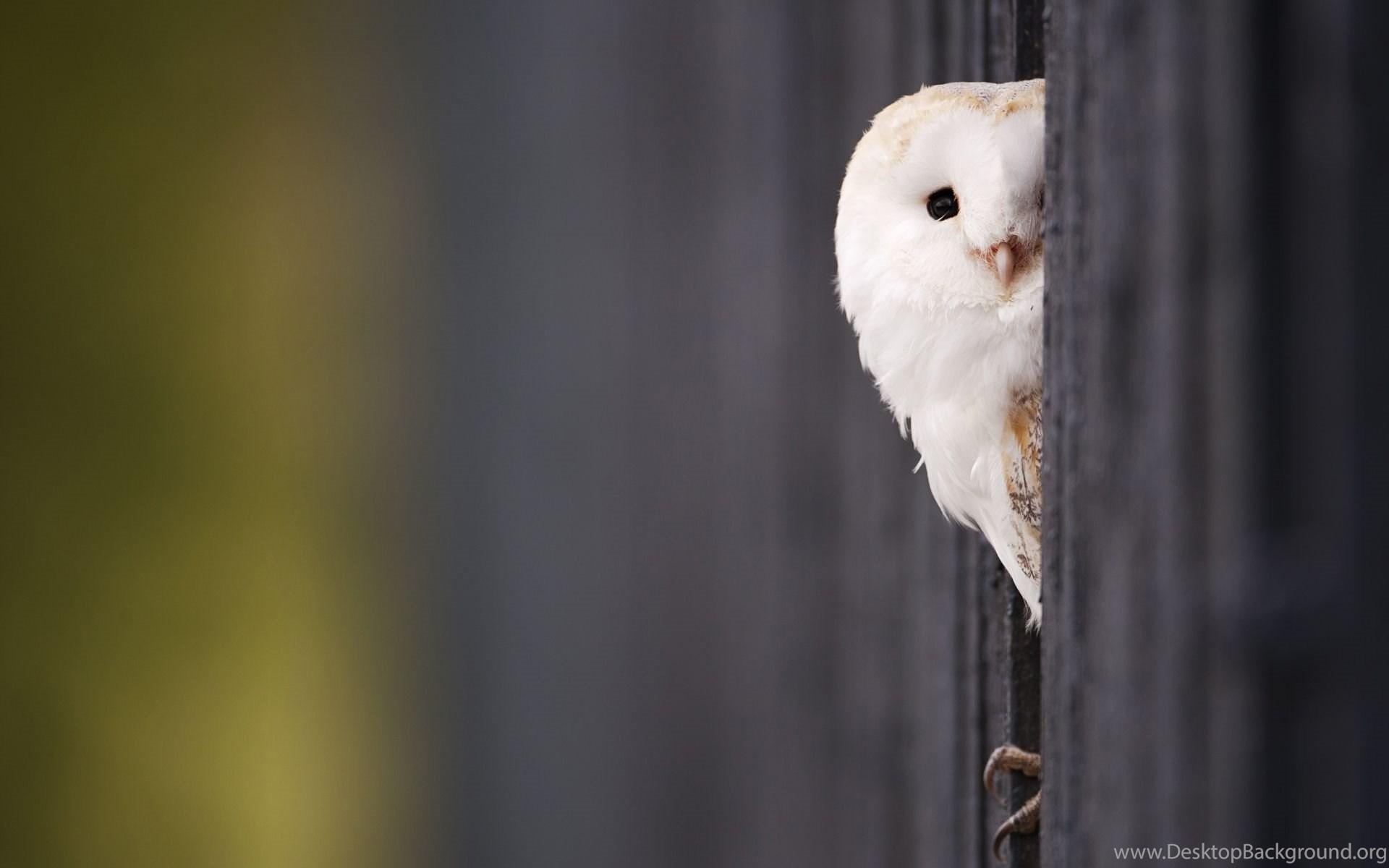 Cute White Baby Owl Wallpaper Desktop Background