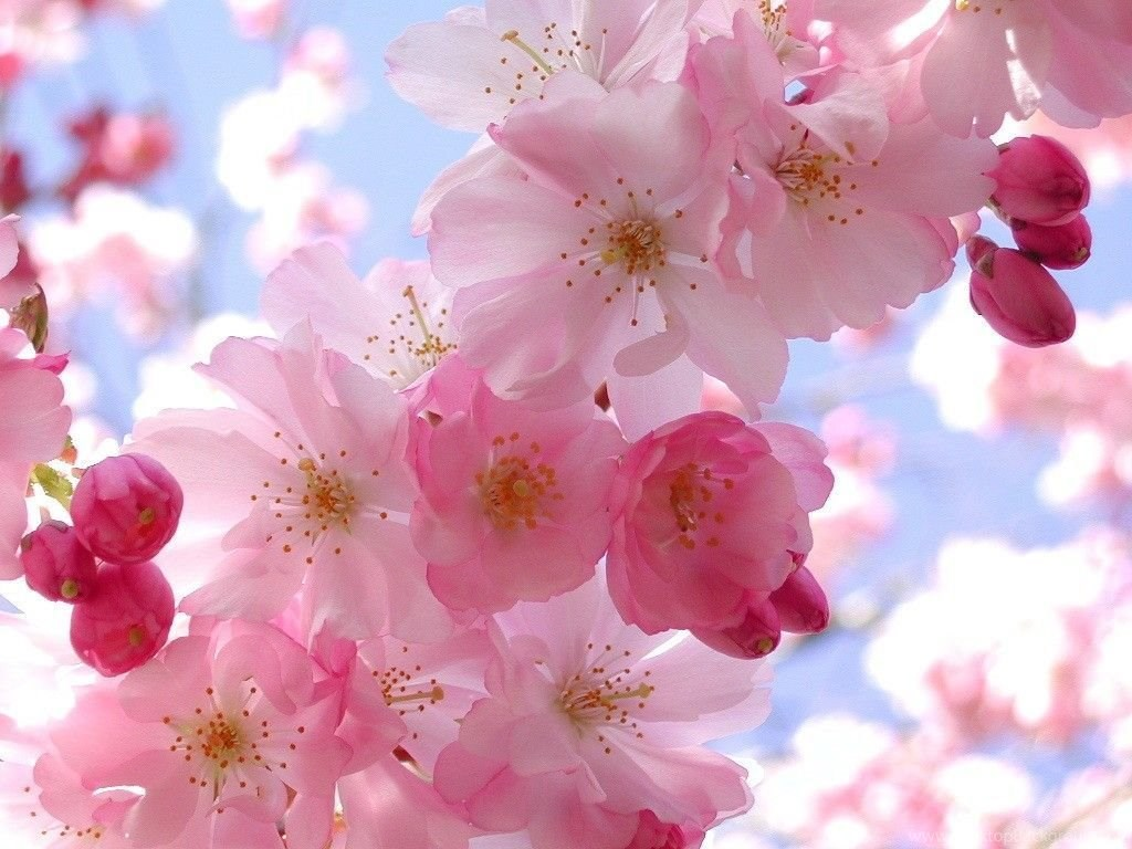 Pretty Pink Flower Wallpapers Computer Hd Wallpapers Wallpapers At