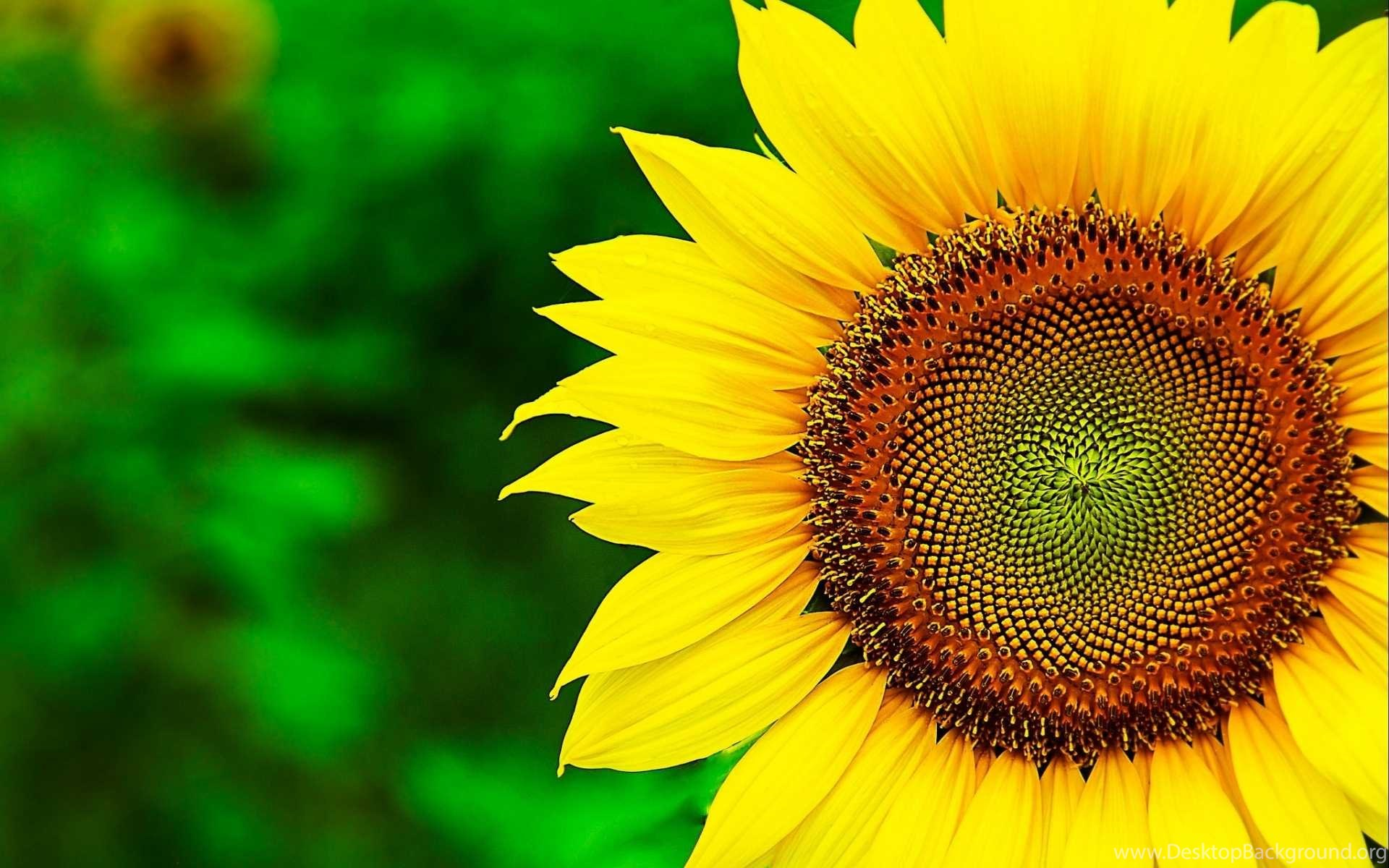 Sunflower Wallpapers HD Best Collection Of Yellow Flowers Desktop