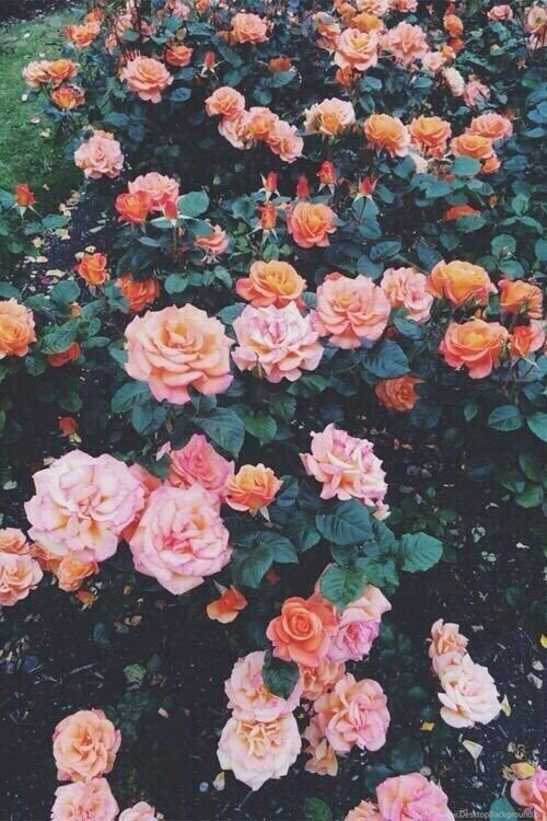 191323 backgrounds flowers hd iphone orange pink tumblr