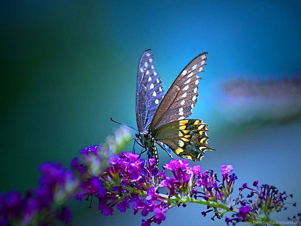 Butterfly Wallpapers Download Hd Wallpapers Lovely Desktop Background