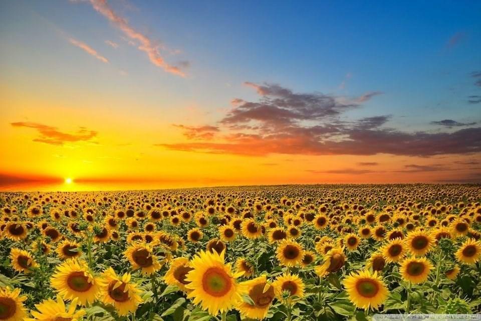 Sunset Over Sunflowers Field Hd Desktop Wallpapers High Desktop Background