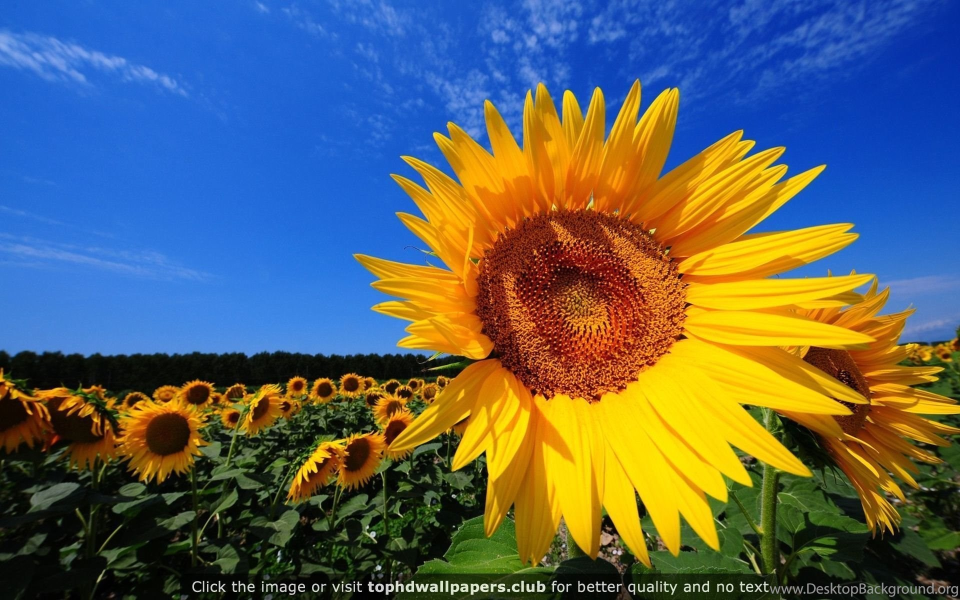 Sunflower Fields 4K Or HD Wallpapers For Your PC Mac Mobile