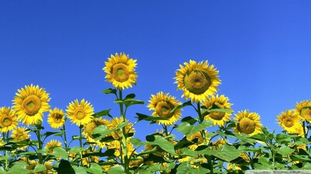 Sunflower Field Hd Desktop Wallpapers High Definition Desktop Background