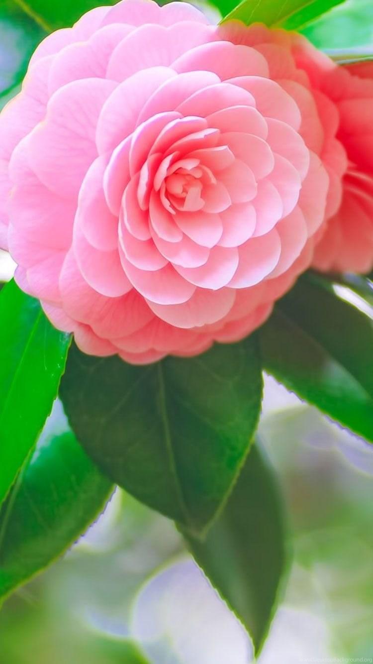 Pink Flower iphone 21 wallpaper.jpg Desktop Background