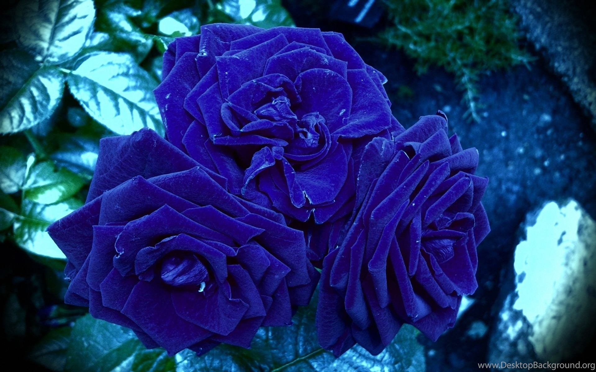 Purple Rose HD Wallpapers Nature Desktop Background