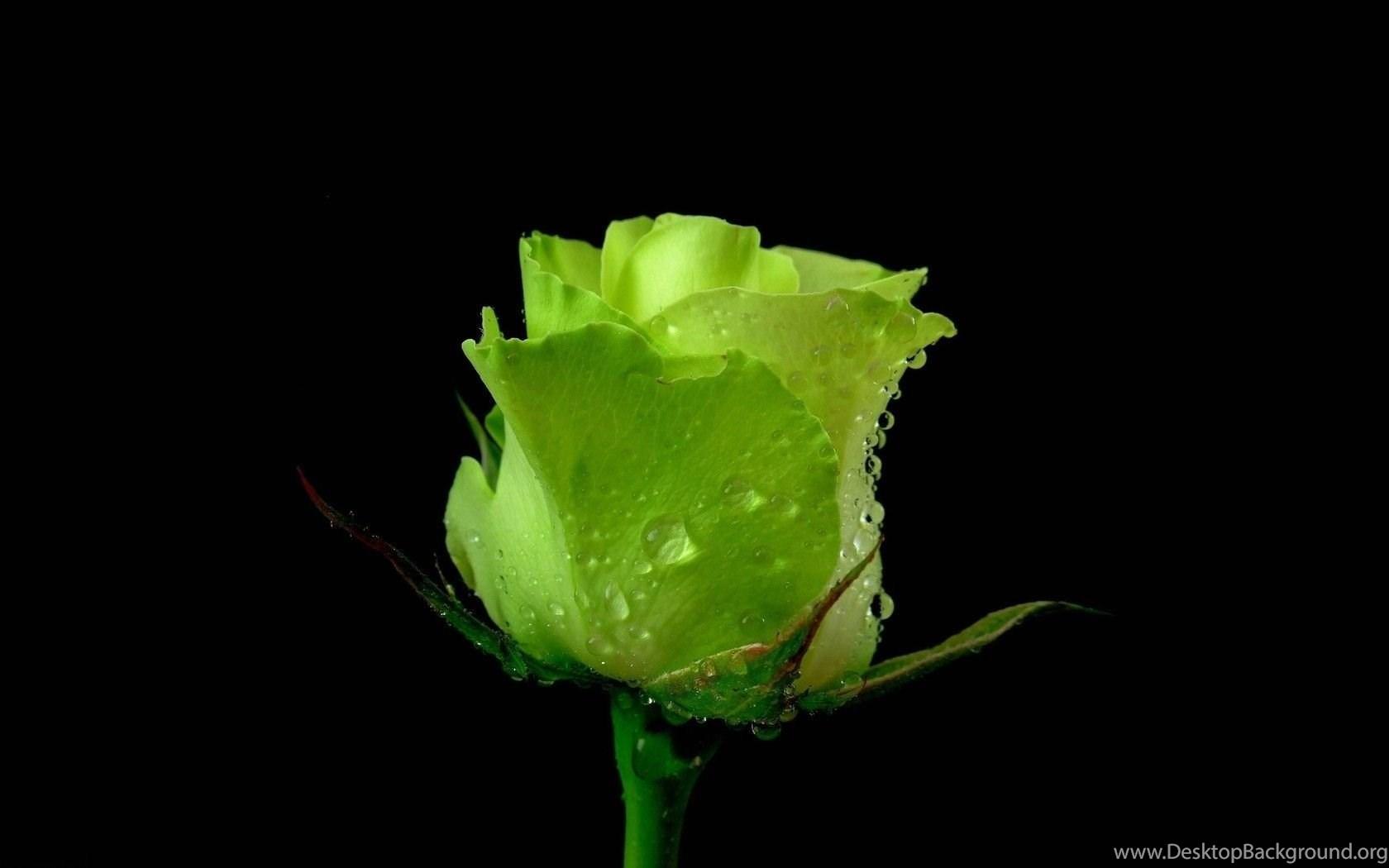 Green Rose Flower On Black Backgrounds Wallpapers Desktop Background