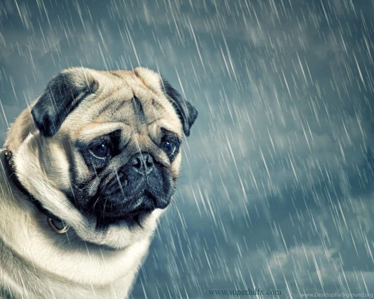 pug dog wallpapers desktop background