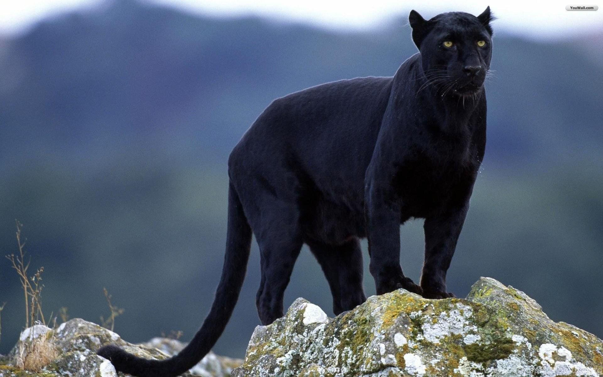 Black Jaguar Vs Black Leopard Wallpaper Desktop Background