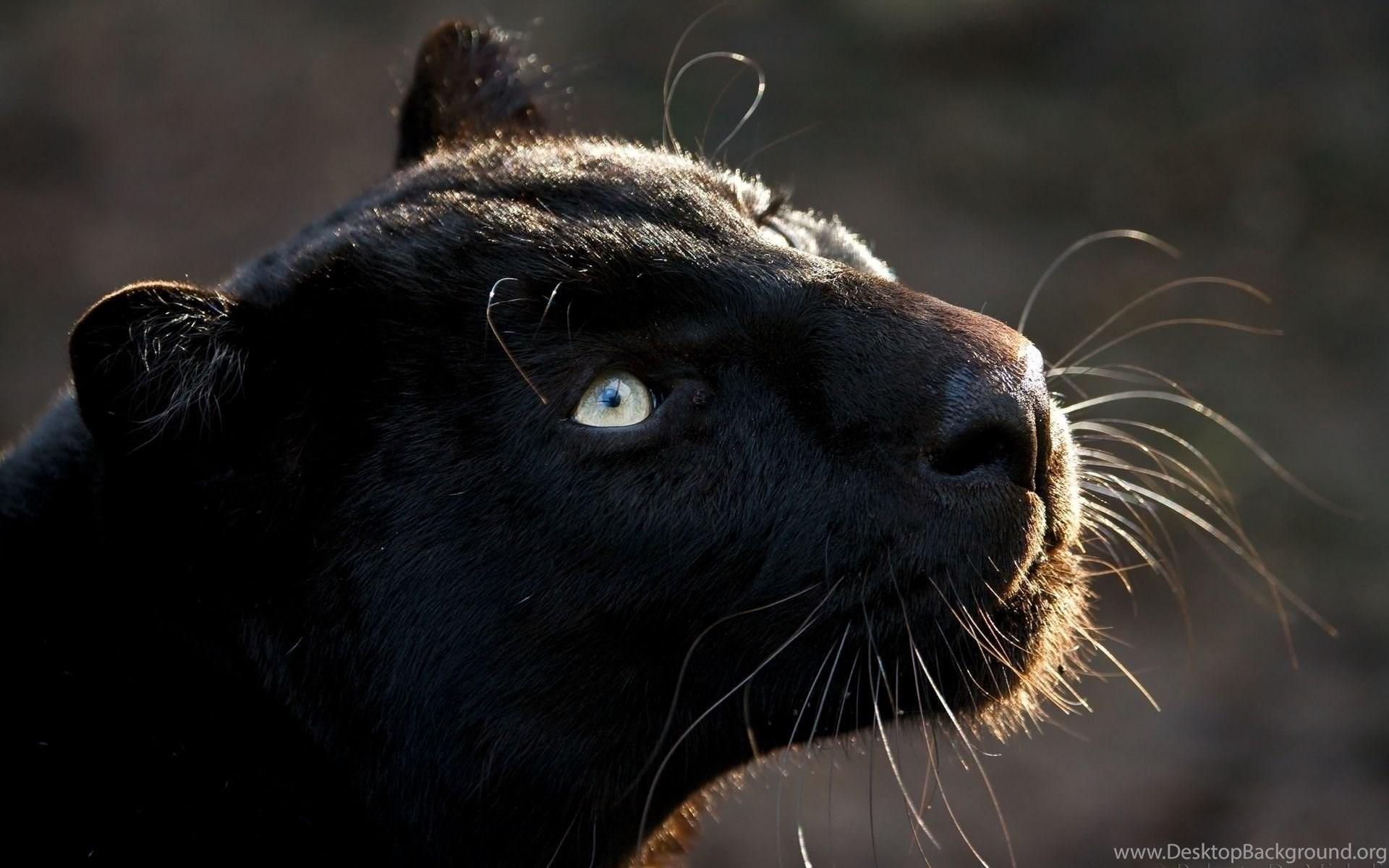 Free Black Jaguar Animal Wallpaperjpg Desktop Background
