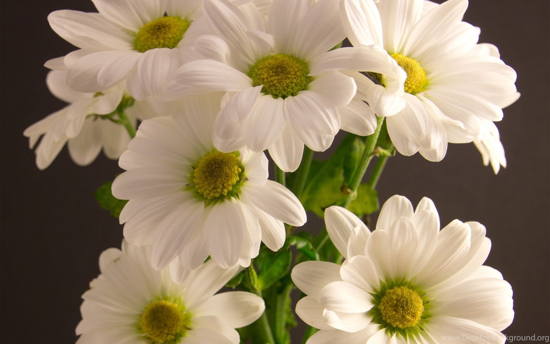 Bouquet Chrysanthemum White Flower Wallpapers Desktop Background