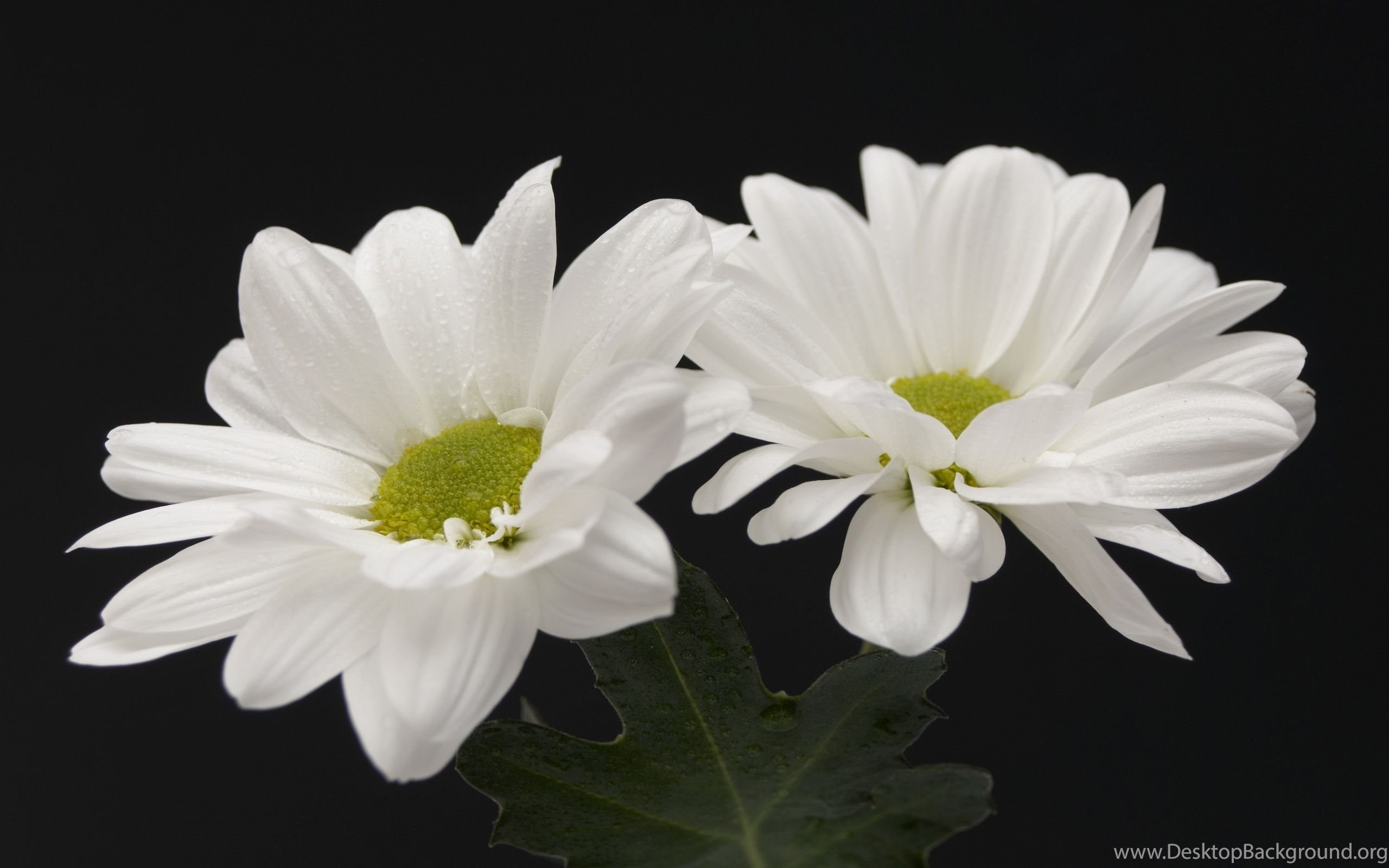 Gallery For Beautiful White Flowers Wallpapers Desktop Background