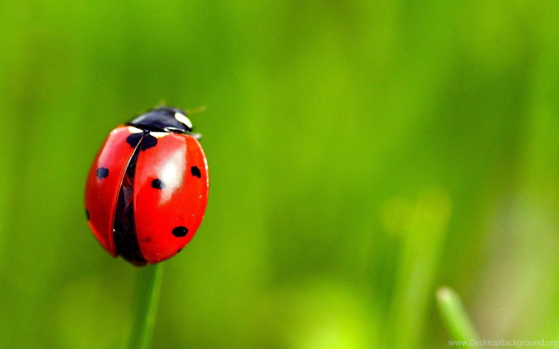 Grass Insect Ladybug Wallpapers Desktop Background