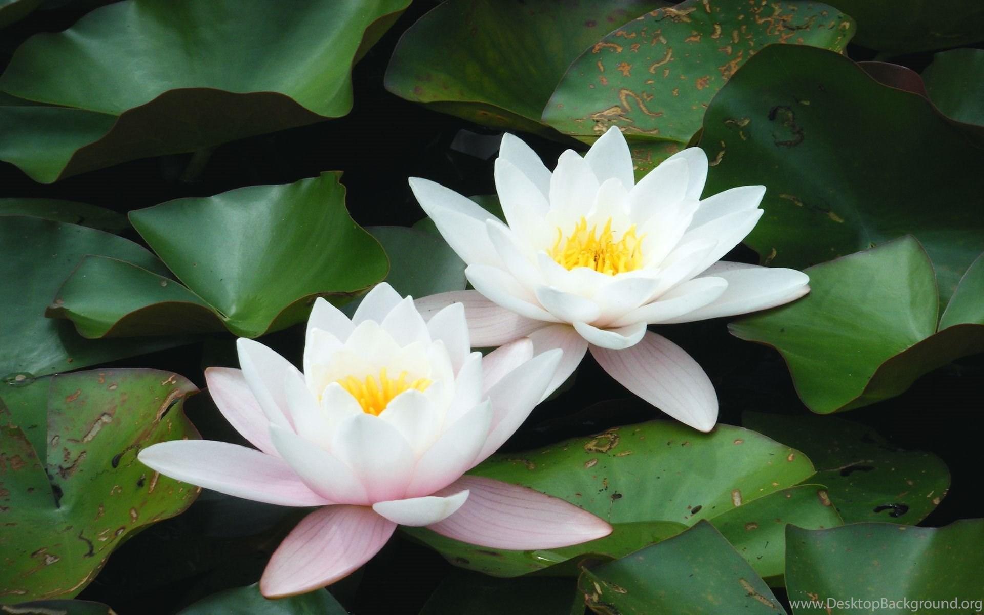 Lotus White Lotus Flower Images Finehdwallpaperr Desktop