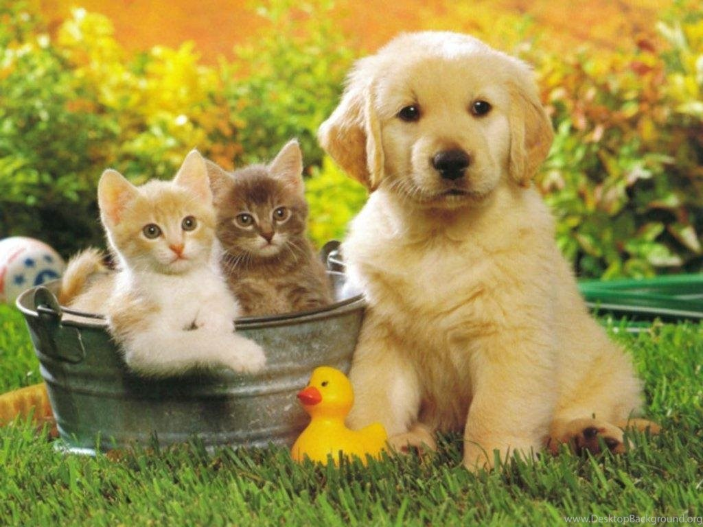 Cute Puppy Golden Retriever And Cats Wallpapers For Your Computer Desktop Background