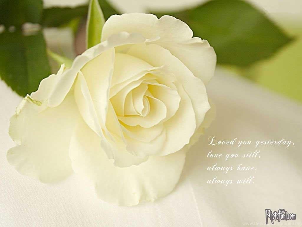 Beautiful White Rose Hd Wallpapers Desktop Background