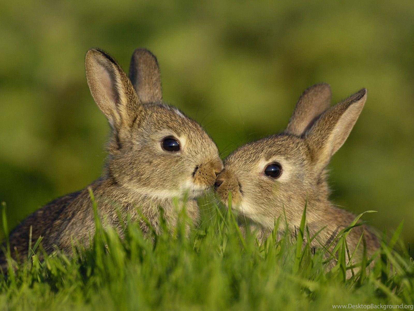 Wallpapers Rabbit Grass Bunny Kiss Desktop Wallpapers Animals Desktop Background