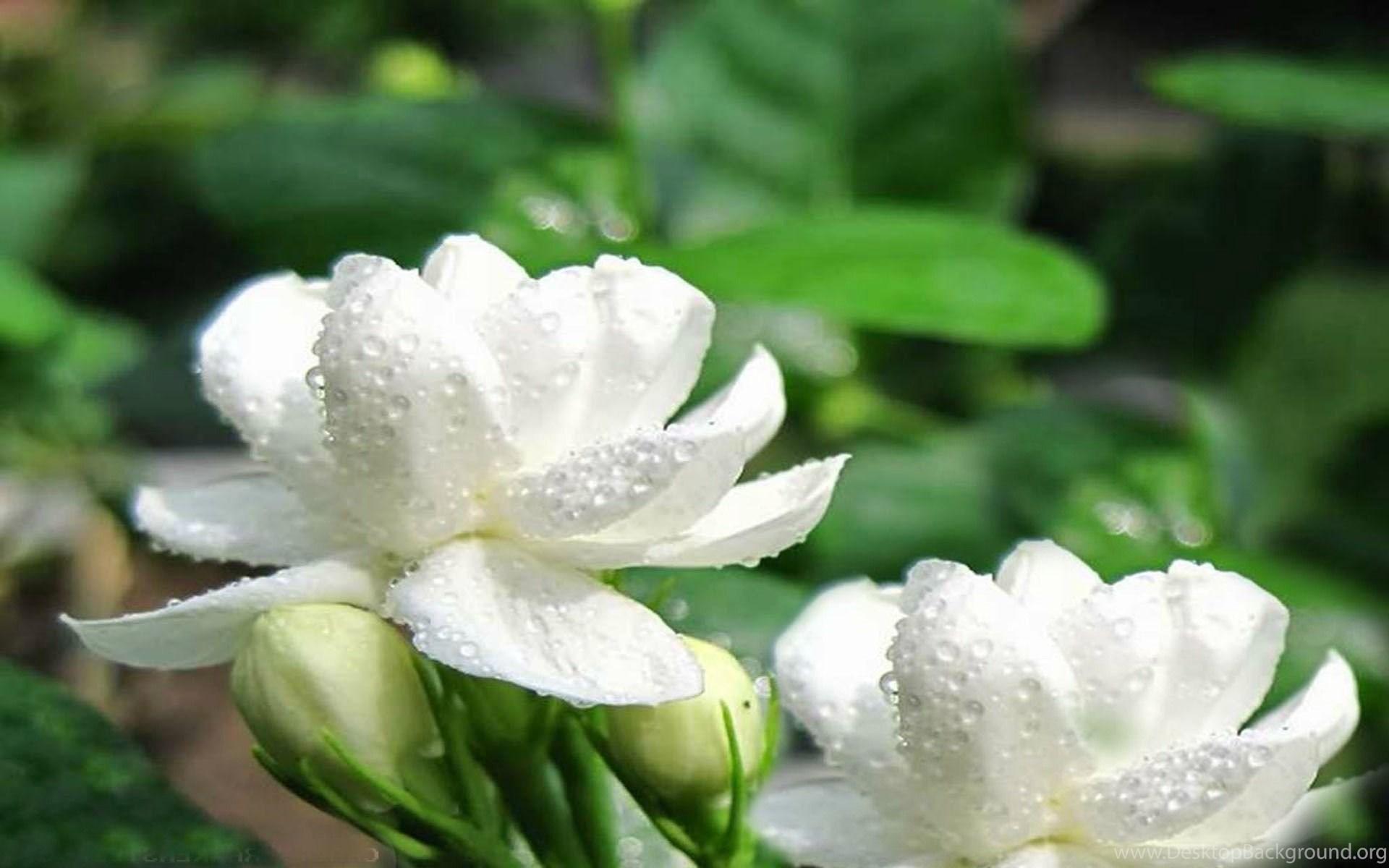 Jasmine Flower Wallpapers Desktop Background