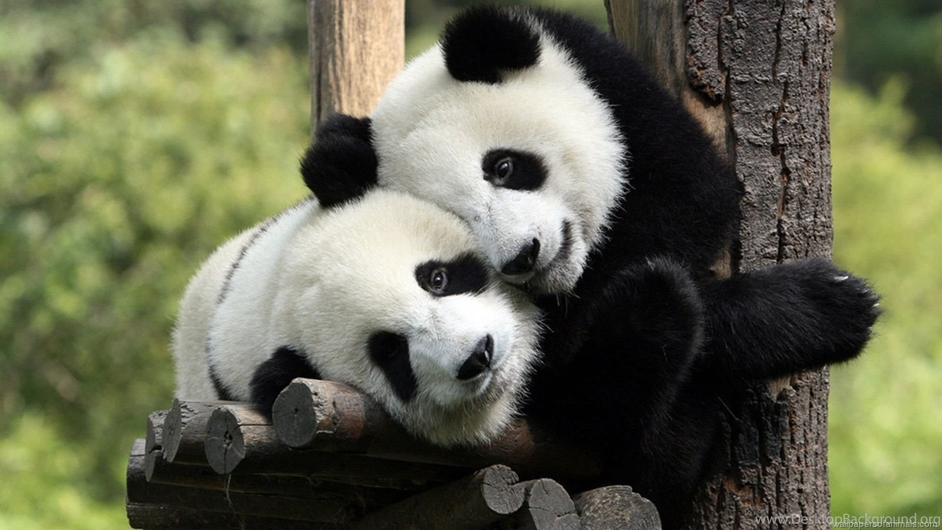 Cute Panda Wallpapers HD CuteWallpaperorg Desktop Background