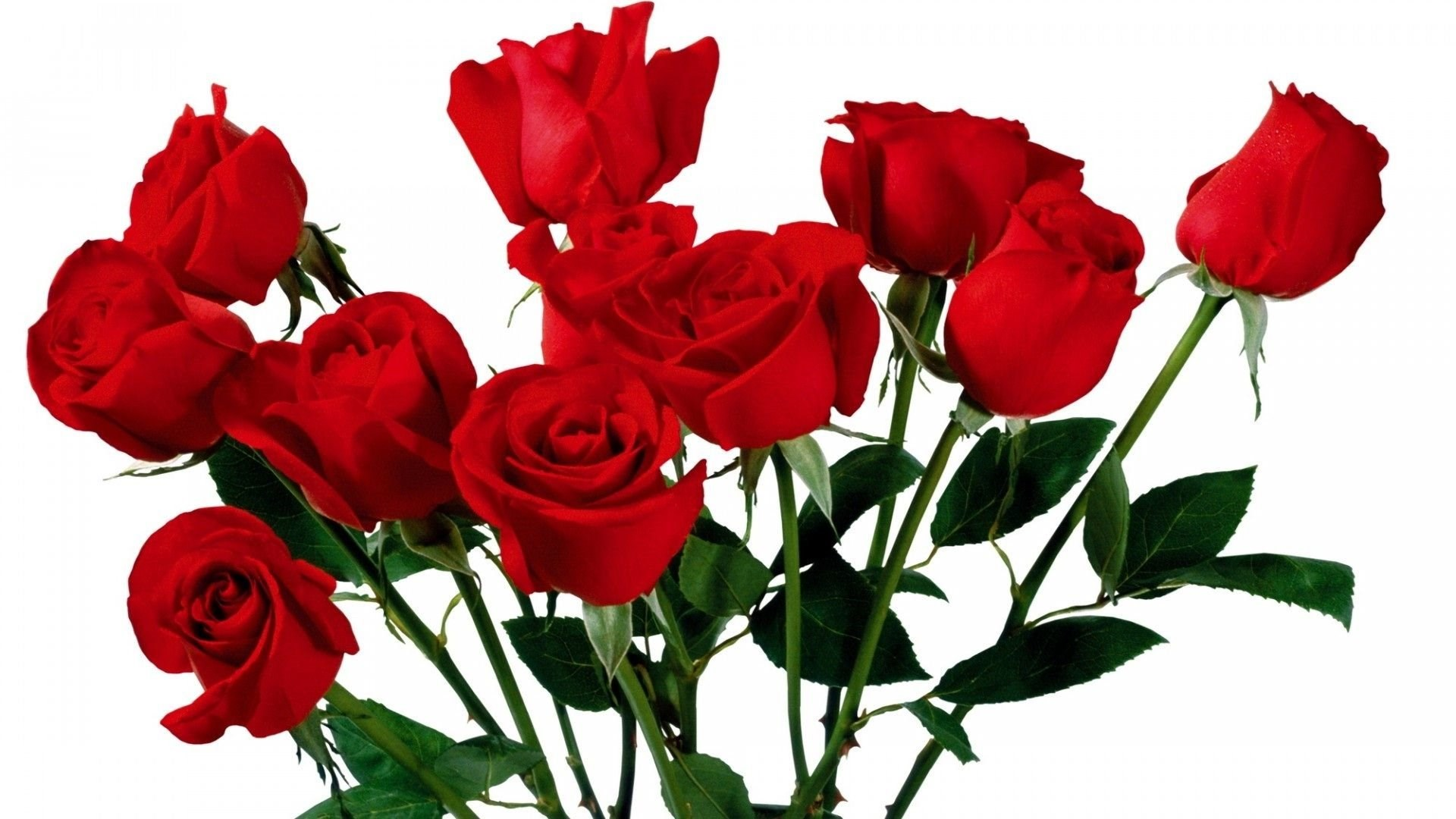 Roses Flower Most Beautiful Pure Hd Wallpapers Desktop Background