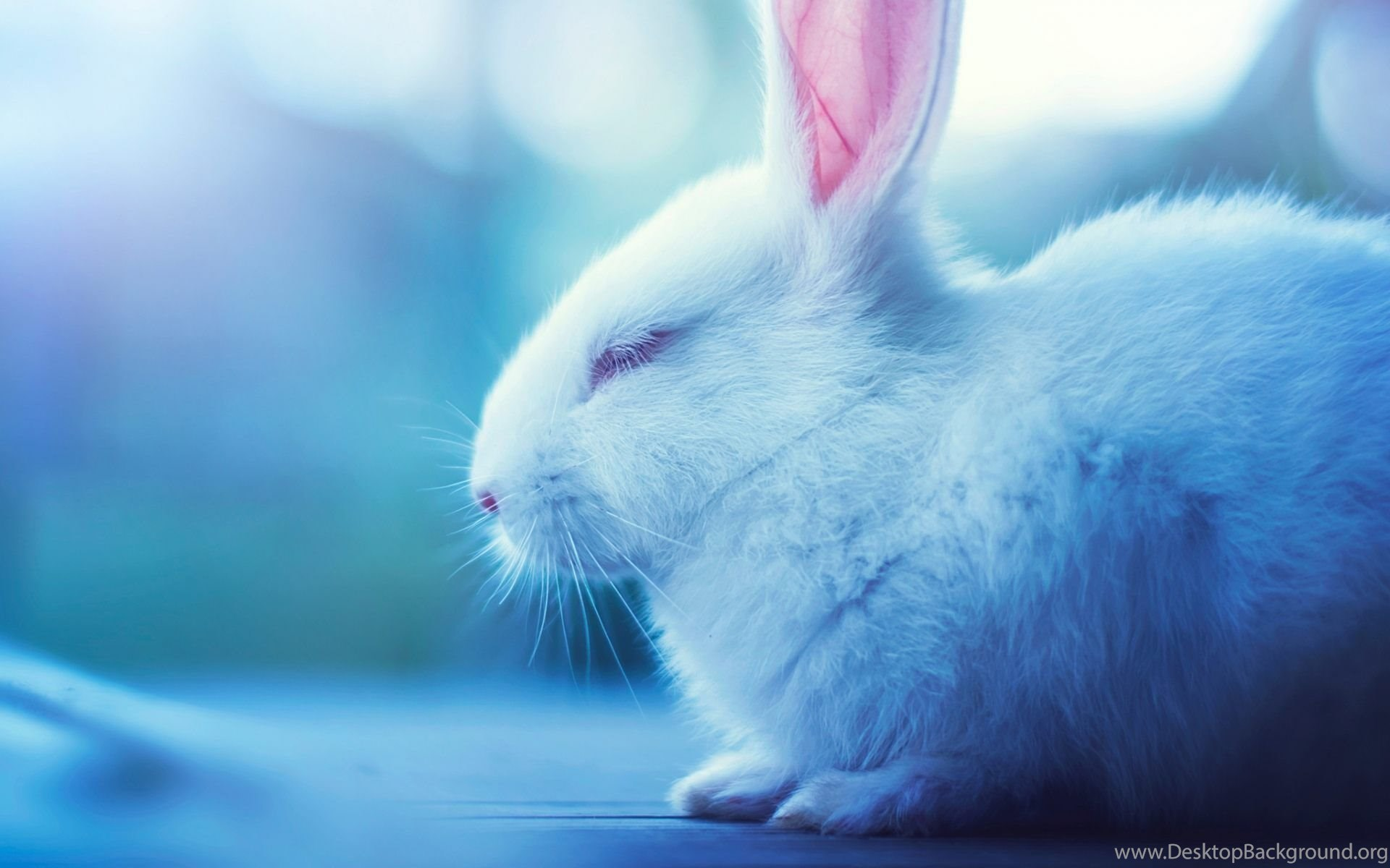 Cute Bunny Wallpapers Download Of Rabbit Desktop