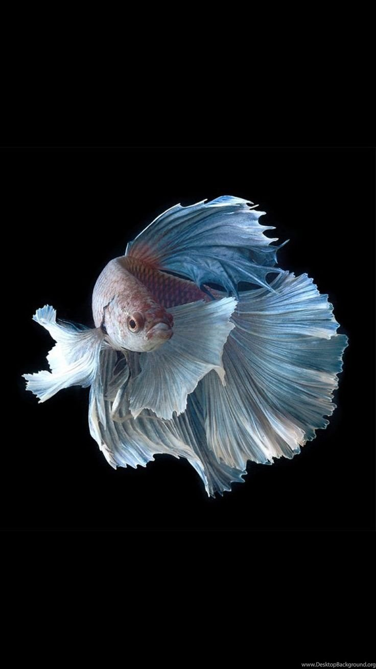 Apple Iphone 6s Wallpapers With Silver Albino Betta Fish In Dark