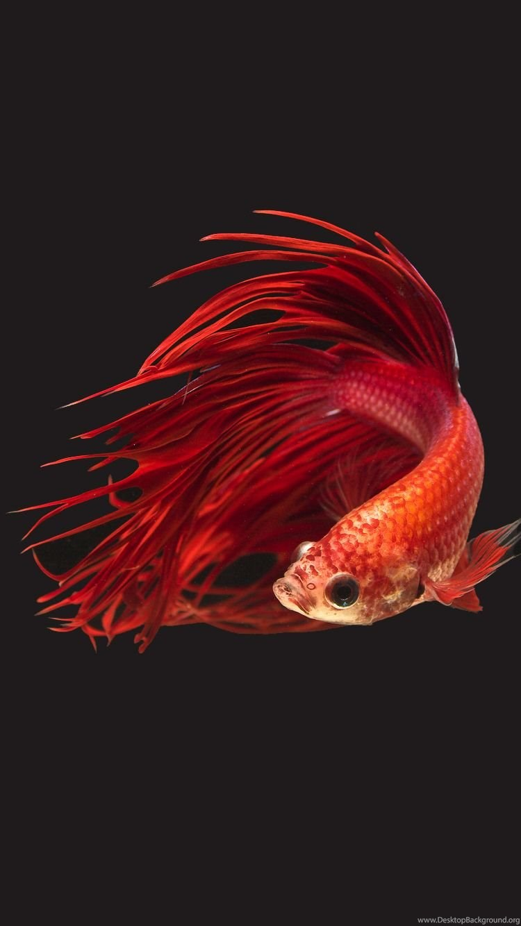 Apple IPhone 6s Wallpapers With Super Red Crowntail Betta Fish In