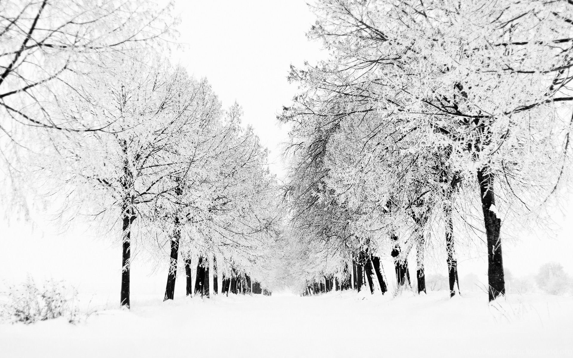 White Winter Trees Windows 8 1 Theme Desktop Background