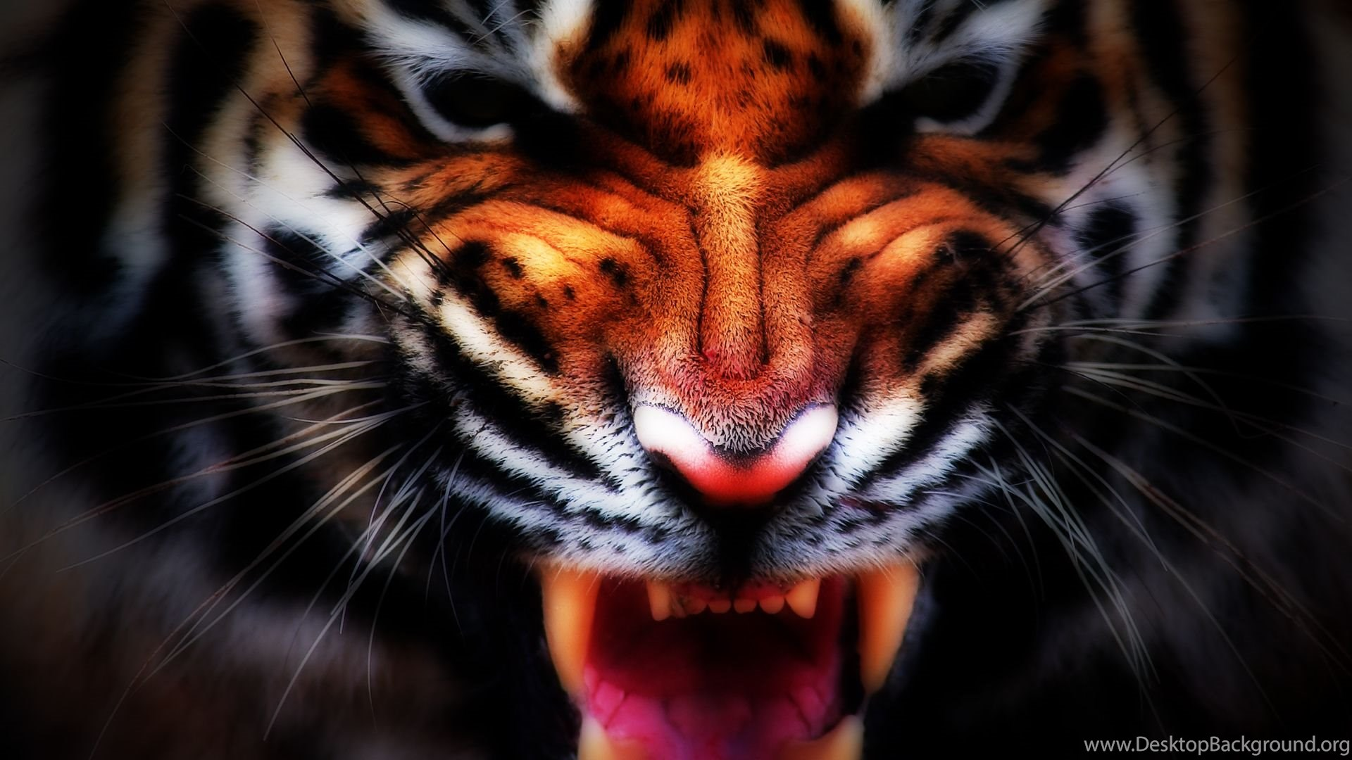 Angry Tiger Face Wallpapers Free Angry Tiger Face Wallpapers By