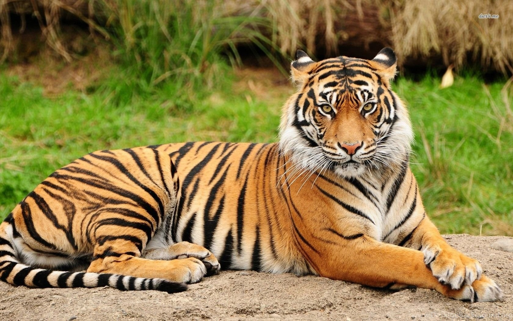 Download Cool Hd Animal Tiger Wallpaper Backgrounds In Animals ... Desktop  Background